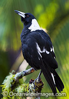 Australian Magpie singing photo