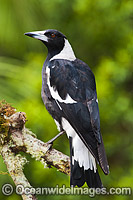 Black-backed Magpie photo