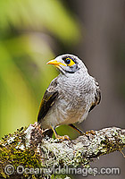 Noisy Miner on branch Photo - Gary Bell