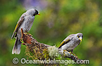 Noisy Miner birds