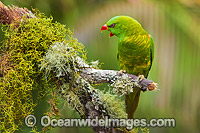 Scaly-breasted Lorikeet Photo - Gary Bell