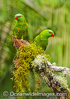 Scaly-breasted Lorikeets Photo - Gary Bell
