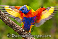 Rainbow Lorikeet flapping wings
