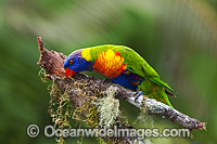 Rainbow Lorikeet photo