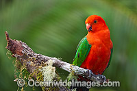 Australian King Parrot male photo