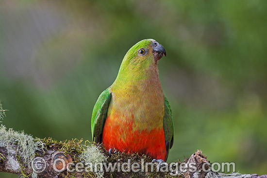 Australian King Parrot (Alisterus scapularis), female. Found in rainforests, eucalypt forests and palm forests of south-eastern Australia. Photo taken at Coffs Harbour, New South Wales, Australia. Photo - Gary Bell