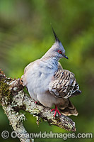 Crested Pigeon Photo - Gary Bell