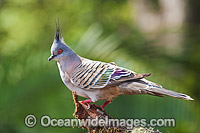 Australian Crested Pigeon Photo - Gary Bell