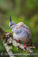 Crested Pigeon Geophaps lophotes Photo - Gary Bell