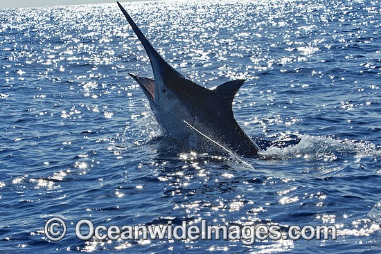Black Marlin (Makaira indica), on surface after taking a bait. Also known as Billfish. Great Barrier Reef, Queensland, Australia. Photo - John Ashley
