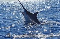 Black Marlin on surface photo