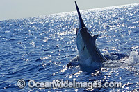 Black Marlin Photo - John Ashley