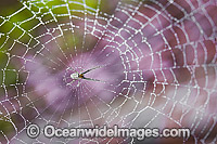 Garden Spider in Web Photo - Gary Bell