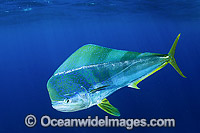 Dolphinfish Mahi Mahi Photo - Andy Murch