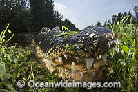Alligator in Everglades Photo - Andy Murch
