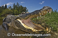 Alligator with mouth open Photo - Andy Murch