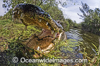 Alligator with jaws open in the Everglades Photo - Andy Murch