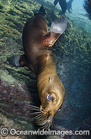California Sea Lion underwater