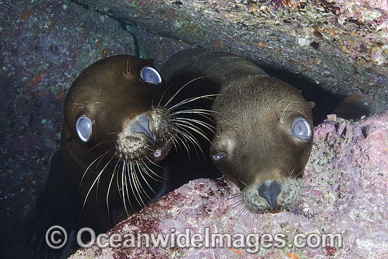 California Sea Lion (Zalophus californianus). Los Islotes, Baja, Sea of Cortez, Eastern Pacific. Photo - Andy Murch