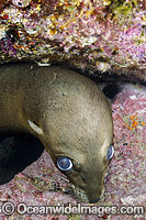 California Sea Lion underwater image