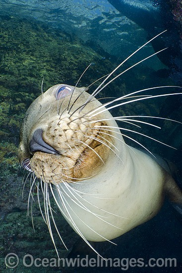 California Sea Lion (Zalophus californianus). Los Islotes, Baja, Sea of Cortez, Eastern Pacific.