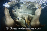 Steller Sea Lions swimming underwater Photo - Andy Murch