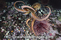 Giant Pacific Octopus Photo - Andy Murch
