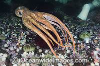 Giant Pacific Octopus photo