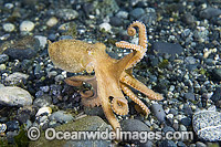 Pacific Red Octopus photo