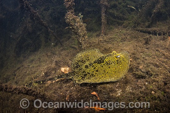 Yellow Spotted Stingray (Urobatis jamaicensis). Photo taken at Oyster Bed Lagoon, Utila, Honduras. Photo - Andy Murch