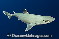 Cuban Dogfish Squalus cubensis Photo - Andy Murch