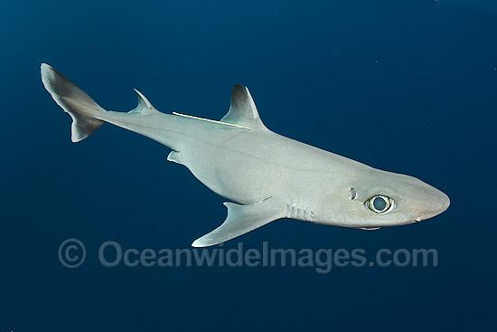 cuban dogfish stock photo