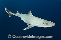 Cuban Dogfish Photo - Andy Murch