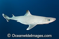 Cuban Dogfish Squalus cubensis photo