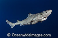 Gulper Shark Photo - Andy Murch