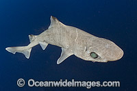 Gulper Shark Centrophorus granulosus photo
