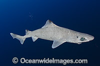 Gulper Shark photo