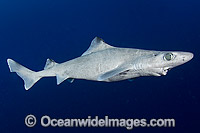 Gulper Shark Centrophorus granulosus Photo - Andy Murch