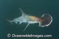 Scoophead Shark Sphyrna media Photo - Andy Murch