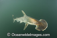 Scoophead Shark Photo - Andy Murch