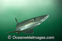 Dusky Smoothhound Mustelus canis Photo - Andy Murch