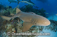 Nurse Shark Photo - Andy Murch