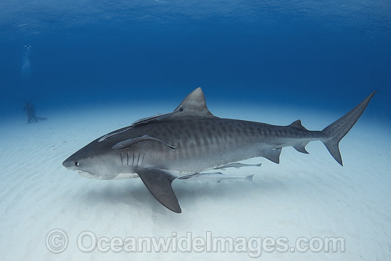 Tiger Shark (Galeocerdo cuvier). Found in tropical seas, with seasonal sightings in warm temperate areas. Photo taken Tiger Beach, Freeport, Bahamas, Atlantic Ocean. Photo - Andy Murch