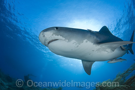 Tiger Shark (Galeocerdo cuvier). Found in tropical seas, with seasonal sightings in warm temperate areas. Photo taken in Bahamas, Caribbean Sea. Photo - Andy Murch
