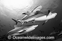 Caribbean Reef Shark Carcharhinus perezi Photo - Andy Murch