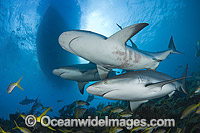 Caribbean Reef Shark Photo - Andy Murch