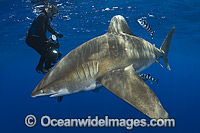 Diver with Oceanic Whitetip Shark