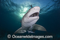 Lemon Shark underwater Photo - Andy Murch