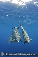 Rough-toothed Dolphin Steno bredanensis photo