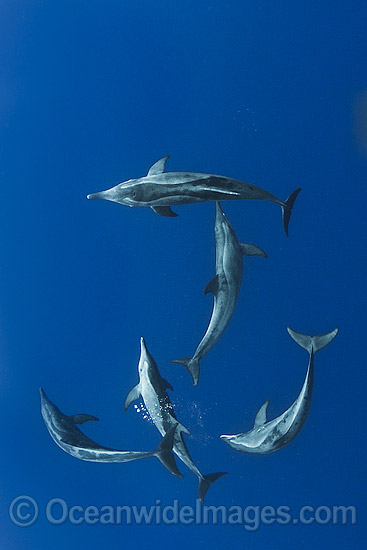 Rough-toothed Dolphins photo
